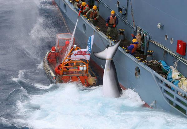 Tra pochi giorni inizierà la mattanza delle balene: firma anche tu la petizione per fermare il massacro!
