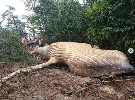 Mistero in Brasile: grande balena ritrovata all'interno di un bosco