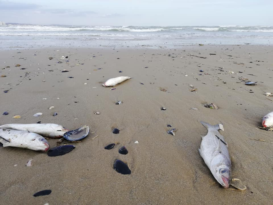 Strana moria di pesci in Romagna: centinaia di cefali spiaggiati da Rimini a Cattolica