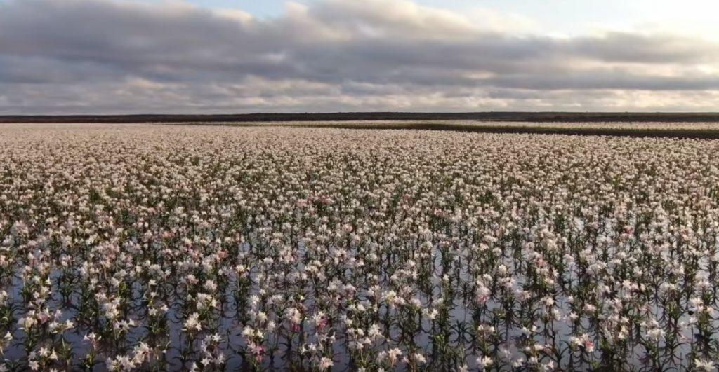 Il deserto torna a fiorire dopo anni, i gigli incantano la Namibia