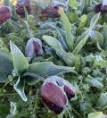 Forti gelate in Puglia: devastati migliaia di tulipani destinati agli ospedali